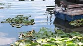 Лилли : Pond covered with water lilies, with a goose resting on an old wooden boat.