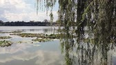 Lake with willows and water lilies in Neptun, on the Black Sea coast, Romania. Стоковые видеозаписи