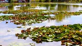 Лилли : View of small lake with water lilies in Neptun on the Black Sea Coast, Romania. Стоковые видеозаписи