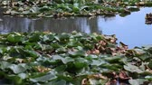 Лилли : European white water lilies (Nymphaea alba),  in their natural environment.
