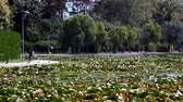Pond with waterlilies and seagulls flying, Neptun, Romania. Stok Video
