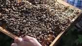мед : Colony of bees on honeycomb inside a hive frame, closeup view.