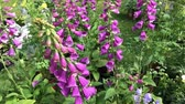 Close-up view of pink foxglove flowers (Digitalis Purpurea) in a spring garden. Стоковые видеозаписи