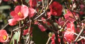 Bush of Japanese quince Chaenomeles japonica a thorny deciduous shrub that is commonly cultivated - Decorative plants for the garden