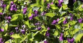 flower bed : Bed of fresh violets Viola odorata in a garden in March. Stock Footage