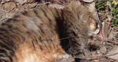 Cute Siberian cat laying in the garden and enjoying the sun.