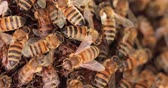 A swarm of honey bees trying to protect the bee queen close up view