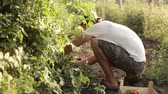 diet : Farmer picking a cherry tomatoes on organic farm