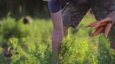 haulm : Farmer picking and holding a biological product of carrots. Stock Footage