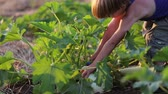 squash family : Farmers child helping harvesting organic vegetable marrow at field of eco farm.