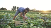 diet : Steadicam shot of young male farmer harvesting crop of ripe cucumbers on big field in beautiful evening sun at organic eco farm, slow motion Stock Footage