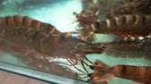 ıstakoz : Prawn in an aquarium tank Stok Video