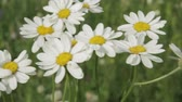 blossom : A camomile swaying in the wind.