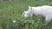 Adorable two white kitten with mom on the lawn Stock Footage