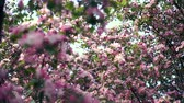 Apple tree blossoms in the sunshine garden. Apple tree blossoming Stock Footage