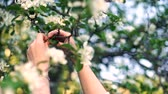 Woman hands gather pick apple tree white blooms from branch in spring garden