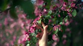 Woman hands cherishes a tender apple blossom truss.