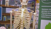 sehen : Human Skeleton School Model Exposition Centre. Anatomy Person Skeletal Pattern Classroom Science Exhibition. Scientific Experiment Exhibition Concept Education Strategy Front View 4K Stock Footage