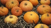 oslava : A lot of beautiful pumpkin panorama collected from farm closeup and exposed against background 4K. Orange pumpkin flaunts vegetable sale fair. Background from yellow vegetables pan for halloween lover Dostupné videozáznamy