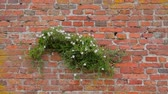 trepadeira : Scrub lone bindweed growing on a red brick wall. Bindweed trembling in the wind against a background of a brick wall. Bindweed on the wall close-up. The plant parasite winds on a brick side.