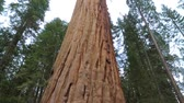 fairytale : Tilt up giant Sequoia trees in Yosemite National Park. Giant Sequoia Tree in Sequoia National Park, California, Sequoia tree. Stock Footage