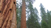 conto : Sequoias. Tilt up giant Sequoia trees in Yosemite National Park. Sequoia tree giant mariposa grove. In the foreground the giant Sequoia tree.