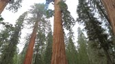 ladrão : Sequoia redwood trees slow pan up. Giant Sequoia Tree in Sequoia National Park, California, USA