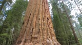 ladrão : Sequoia tree. Giant Sequoia Tree in Sequoia National Park, California. Tilt up the giant Sequoia trees in Yosemite National Park.