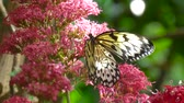нектар : Butterfly Drinking from Tropical Flower, Macro Closeup. Slow motion shot of butterflies on flowers.
