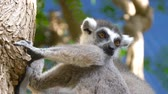 catta : Lemur sits on a branch and looks around. Close up of a ring-tailed lemur. Ring-tailed lemur catta. Stock Footage