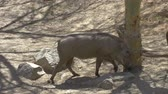 wart : African warthog family in the wildlife - Africa. African warthog walking. Stock Footage