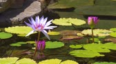 excellent : Pink water lily with lotus leaf on pond. Waterlily in garden pond. Beautiful purple lotus, water plant in a lake. Stock Footage