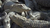 crocodilo : Alligators crouch along one another and are interwoven with bodies. Aligators breeding farm in the Florida. Crocodiles are basking in the sun on a crocodile farm.