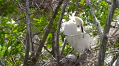 garça : Great white egret takes care of its chicks. Young chicks egret fools in nest. Mother great white egret standing watch over the chick in their nest. Great Egret nest with young chicks. Birds nest. Vídeos