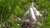 pintos : Great white egret takes care of its chicks. Young chicks egret fools in nest. Mother great white egret standing watch over the chick in their nest. Great Egret nest with young chicks. Birds nest. Vídeos