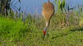 stěhovavý : Sandhill Crane looking for food. Sandhill Crane (Grus canadensis) - Florida. Adult Sandhill Crane (Grus canadensis) is standing at the edge of the lake. 4K.