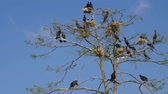 pintos : Phalacrocorax carbo. Great Black Cormorant. Cormorant nests in a tree. Group of Double-crested cormorant, Phalacrocorax auritus sittingon a nest. Flock of cormorants in nests on the tree.