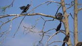great cormorant : Cormorant nests in a tree. Phalacrocorax carbo. Group of Double-crested cormorant, Phalacrocorax auritus sittingon a nest Stock Footage