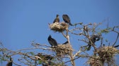 pintos : Phalacrocorax carbo. Cormorant parent and chick sitting in a nest in a bare tree, on a sunny day with a clear blue sky. Group of Double-crested cormorant, Phalacrocorax auritus sittingon a nest.