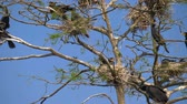 great cormorant : Cormorant nests in tree. Phalacrocorax carbo. Phalacrocorax carbo. Flock of cormorants in nests on tree. Group of Double-crested cormorant, Phalacrocorax auritus sittingon a nest. Vertical Panorama