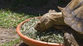 tartaruga : Large African Sulcata turtle eating grass in zoo. Big African turtle. Close up 4k resolution.