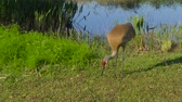 grus : Sandhill Crane (Grus canadensis) stroll along the lake in search of food. Sandhill Crane (Grus canadensis) - Florida. Sandhill cranes family feed near lake. 4K resolution slow motion.