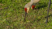 grus : Sandhill crane head and neck against a green grass background. Sandhill Crane (Grus canadensis), Florida. Sandhill Crane looking for food. 4K resolution slow motion.