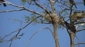 pintos : Cormorant nests in a tree. Phalacrocorax carbo. Great Black Cormorant. Vertical Panorama, 4K resolution video.