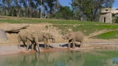 bebês : Young elephants play near a watering hole in a safari park.