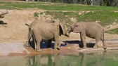 fildişi : Young elephants play near a watering hole in a safari park.