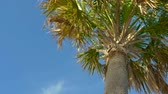 bermudas : Palm trees against a beautiful blue sky. Green palm tree on blue sky background. View of palm trees against sky. Palm branches with leaves. Bottom view.