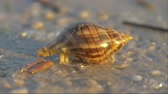 timid : Cancer hermit quickly hides in the seashell. Small hermit crab in the sand. Hermit crab walking along beach with waving sea blurry background. Hermit Crab in a screw shell. Warm light toned.