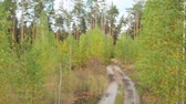 piombo : Seedlings near tall conifers. Landscape forest path leads through the forest area in early autumn. A dirt sand road with puddles leads to the coniferous forest. Path leading to the depth pine forest.