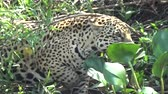 brasil : Female jaguar moves along the bank of the Cuiab? river, Pantanal, Brazil.